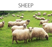 sheep-bt